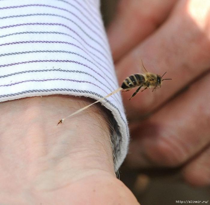 Жало пчелы (700x682, 286Kb)