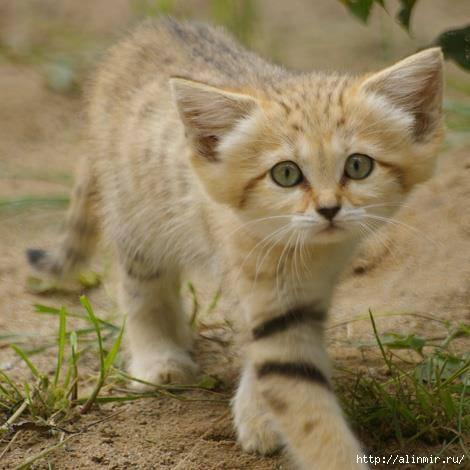 кошка лопоушка (470x470, 107Kb)