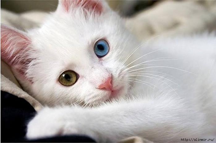 кошка глаза (700x465, 162Kb)