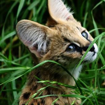 кошка сервал (341x341, 129Kb)