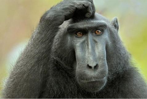 животные горилла (477x322, 90Kb)
