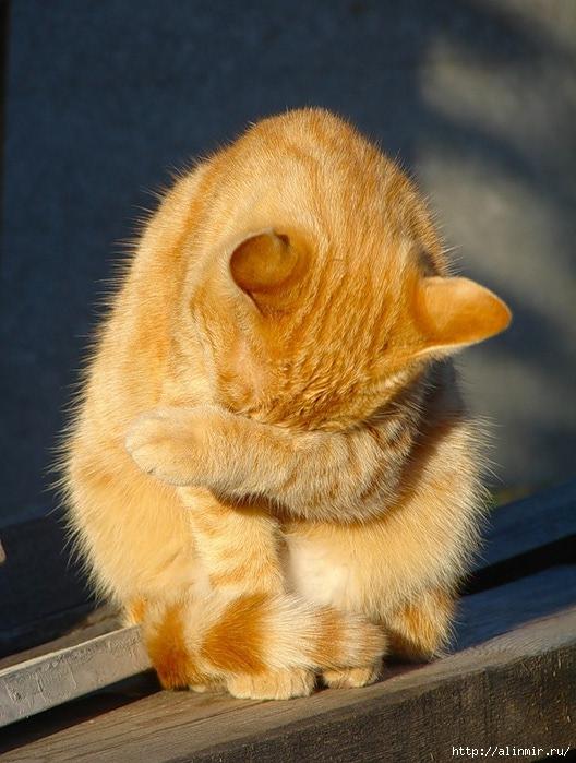 животные кот рыж (528x699, 234Kb)