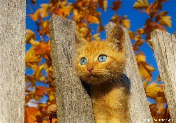 животные рыжий кот (604x422, 188Kb)