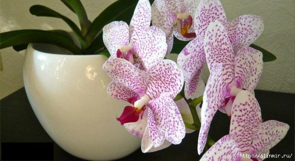 5283370_orhideya (604x330, 118Kb)