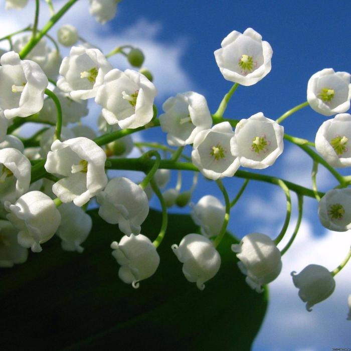 весна ландыши