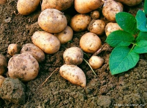 Чем удобрить картофель летом